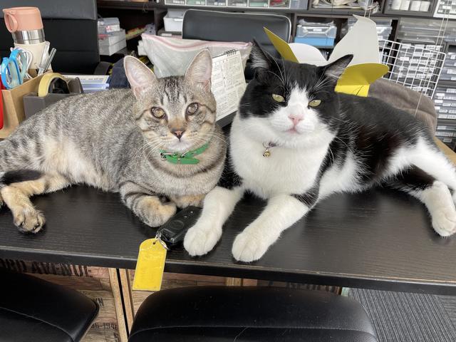 ネコ、飼ってます。 看板ネコです。 従業員というか、従業猫です。 ピピと言います