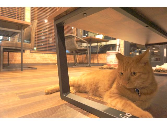 招き猫の『千代丸』です。オスの3歳です。ビビリですがちょっとすると匂いを嗅ぎに寄ってきます。