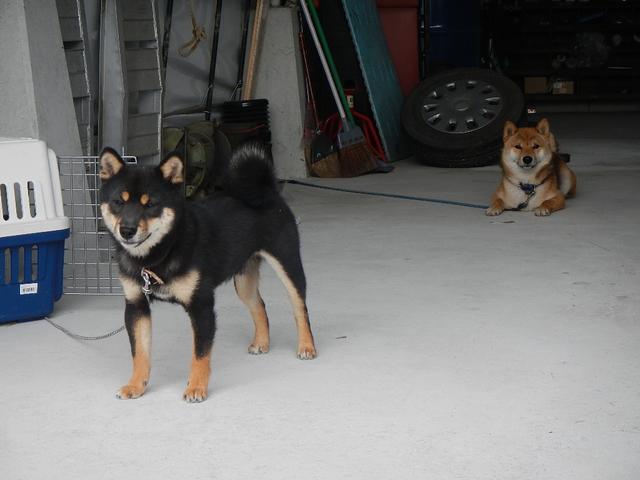看板犬・黒豆シバのシュウとシバ犬のジンです!御来店お待ちしております!